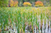 Bulrush Waving In The Wind In Autumn