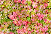 Boston Ivy Changing Color In Autumn