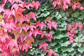 Mix Of Red And Green Boston Ivy Leaves