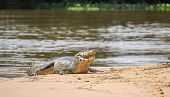 Yacare Caiman with open jaws on a sandbank in Brazilian Pantanal