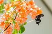 Paper Flowers Or Bougainvillea And Butterfly