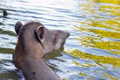 Brazilian Tapir Swimming