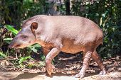 Brazilian Tapir Walking