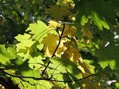 Field Maple Foliage