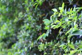 Green leaves with shallow depth