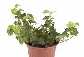 Houseplant Ivy