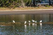 Herons in the lagoon