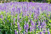 Blooming Lavender  Flower
