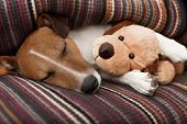 pic of jacking  - jack russell terrier dog under the blanket in bed having a siesta and relaxing with best friend teddy bear - JPG