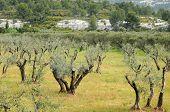 Typical Landscape Of Maussane Les Alpilles In Provence