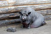thick black pig