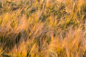 Golden Ears Of Wheat On The Field