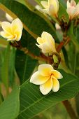 Plumeria In A Nature At The Garden.
