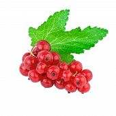 red currant green leaf