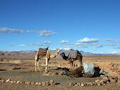 Camels and dromedaries