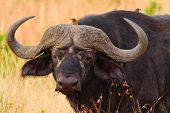 Buffalo In Masai Mara