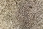 foto of possum  - A closeup of the fur of an Australian brushtail possum  - JPG