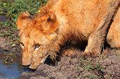 Young Lion Drinking Water, Masai Mara