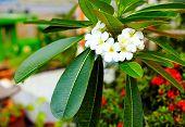 Branch Of Plumeria Flower (frangipani) In Tropical Garden