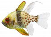 Pyjama Cardinal Fish (sphaeramia Nematoptera)