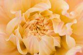 Yellow, orange dahlia