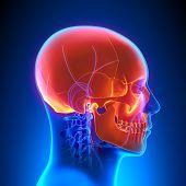 Skull Anatomy With Circulatory System