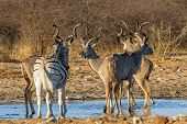 Greater kudu and solitary zebra