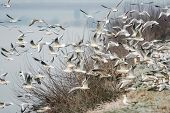 stock photo of off-shore  - A large group of seagulls flying above the shore taking off towards the river Sava in Zagreb Croatia - JPG