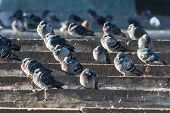 Pigeons Warming Themselves On The Stone Steps In Moscow
