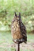 Owl - Bubo Bubo, Eurasian Eagle-owl