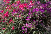 Bougainvillea In Two Colors