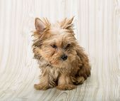 image of yorkshire terrier  - Yorkshire terrier  - JPG