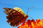image of butterfly flowers  - Cranberry Fritillary  - JPG