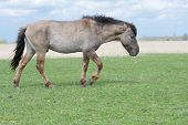 picture of conic  - Wild Conic Horse walking on pasture with reed in background - JPG