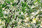 picture of apple orchard  - Apple Tree Orchard With Blooming White Flowers Close - JPG