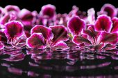 pic of geranium  - beautiful spa concept of geranium flower in ripple reflection water Royal Pelargonium closeup - JPG