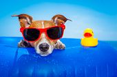 stock photo of duck  - jack russell dog on a mattress in the ocean water at the beach enjoying summer vacation holidays wearing red sunglasses with yellow plastic rubber duck - JPG