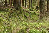 picture of decomposition  - The primeval forest with the mossed ground - JPG