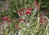 stock photo of biblical  - Biblical wild flower blooming red Helichrysum sanguineum - JPG