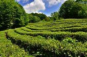 stock photo of sochi  - Tea plantation in Matsesta - JPG