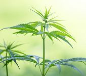 pic of marijuana plant  - Young cannabis plant - JPG