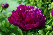 picture of foliage  - The lone peony on green foliage background - JPG