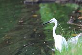 foto of bayou  - white egret at the lake in public park - JPG