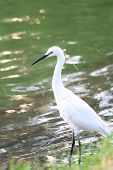 image of bayou  - white egret at the lake in public park - JPG