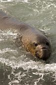 Elephant Seal Swimming