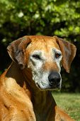 stock photo of hound dog  - a beautiful grey old rhodesian ridgeback hound dog head portrait watching in a garden in south africa - JPG