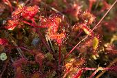 Thrickets Of A Sundew