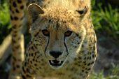 Cheetah cara