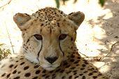 Retrato de guepardo