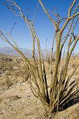 image of anza  - ocotillo cactus in the anza - JPG